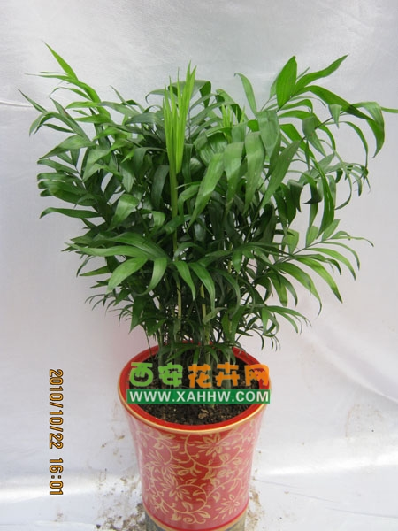 中国 西安/袖珍椰子