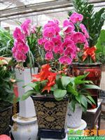 中国 西安/蝴蝶兰、大花蕙兰、水晶红掌、凤梨、竹芋类、一品红等精品花卉