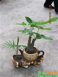 发财树 袖珍椰子组合