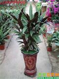 中国 西安/紫背竹芋