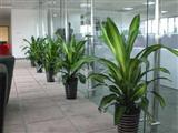 银行绿植摆放实景