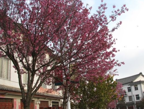 冬樱花树下流连忘返