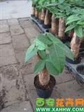 发财树(微型)