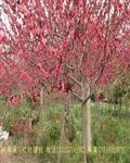 榆叶梅价格,红叶碧桃价格,红叶李价格,夹竹桃价格表