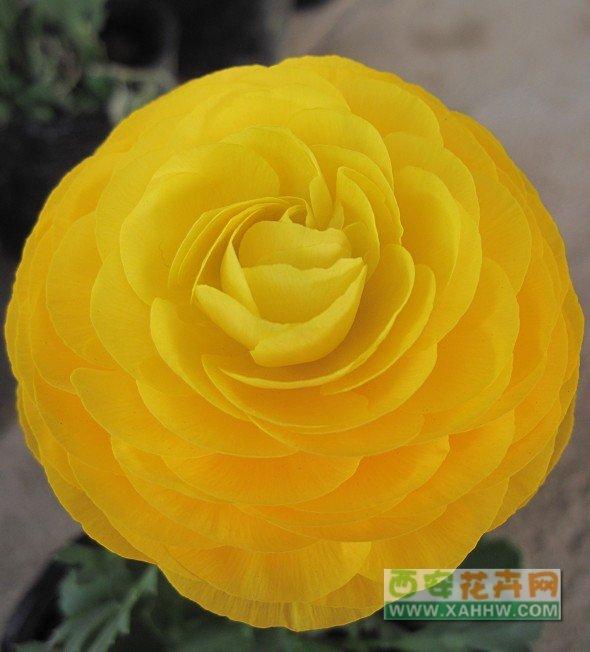 【花卉信息】花毛茛-别名:芹菜花