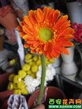 橙色非洲菊