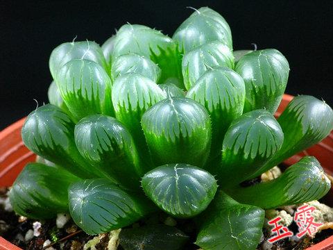 【花卉信息】迷你多肉植物—玉露的养护指南(一)