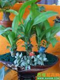 巴西木—白网纹草组合盆栽