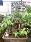 香樟树(盆景)