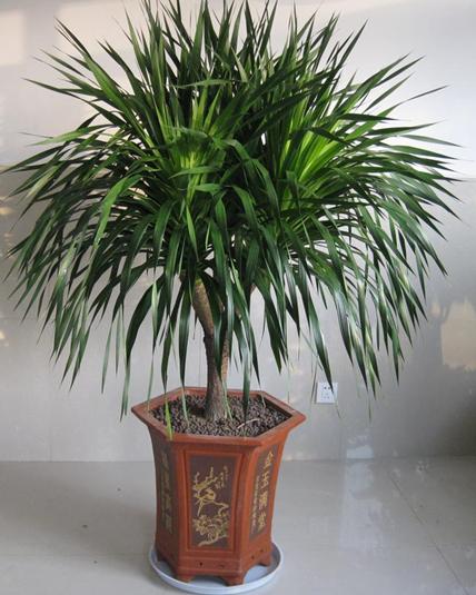 百合科,龙血树属