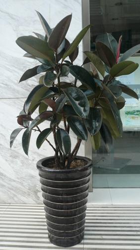 橡皮树常用扦插和高压繁殖