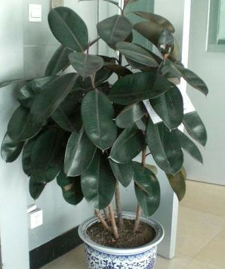 【中国花卉信息】橡皮树怎么养,橡皮树的家庭及养护方法