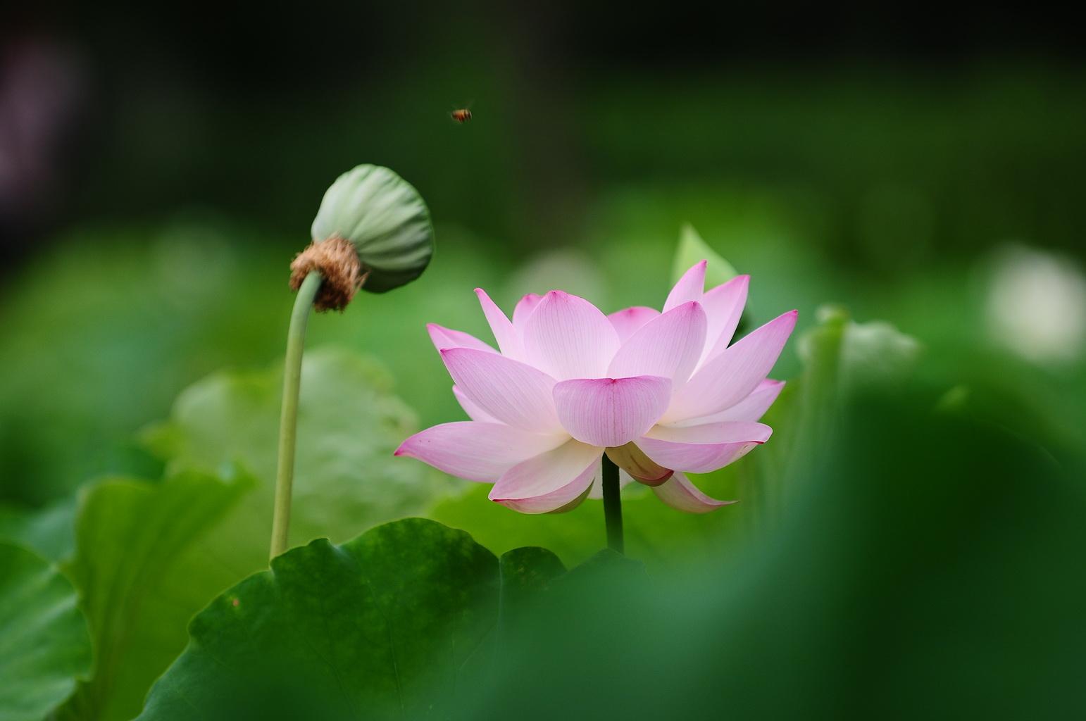 去年冬天,太阳岛风景区对这些引种荷花做了越冬尝试,所有的花都在原