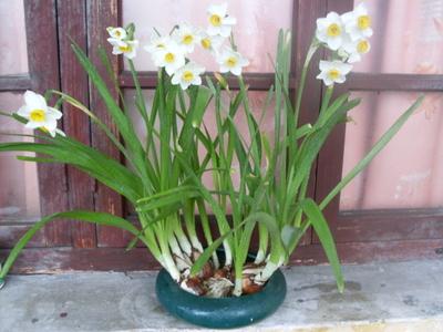教你如何在冬季养出美丽动人的水仙花