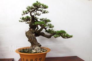 西安苗木网,中国爱养花知识网,养花技术网 养花技术 松树盆景记得